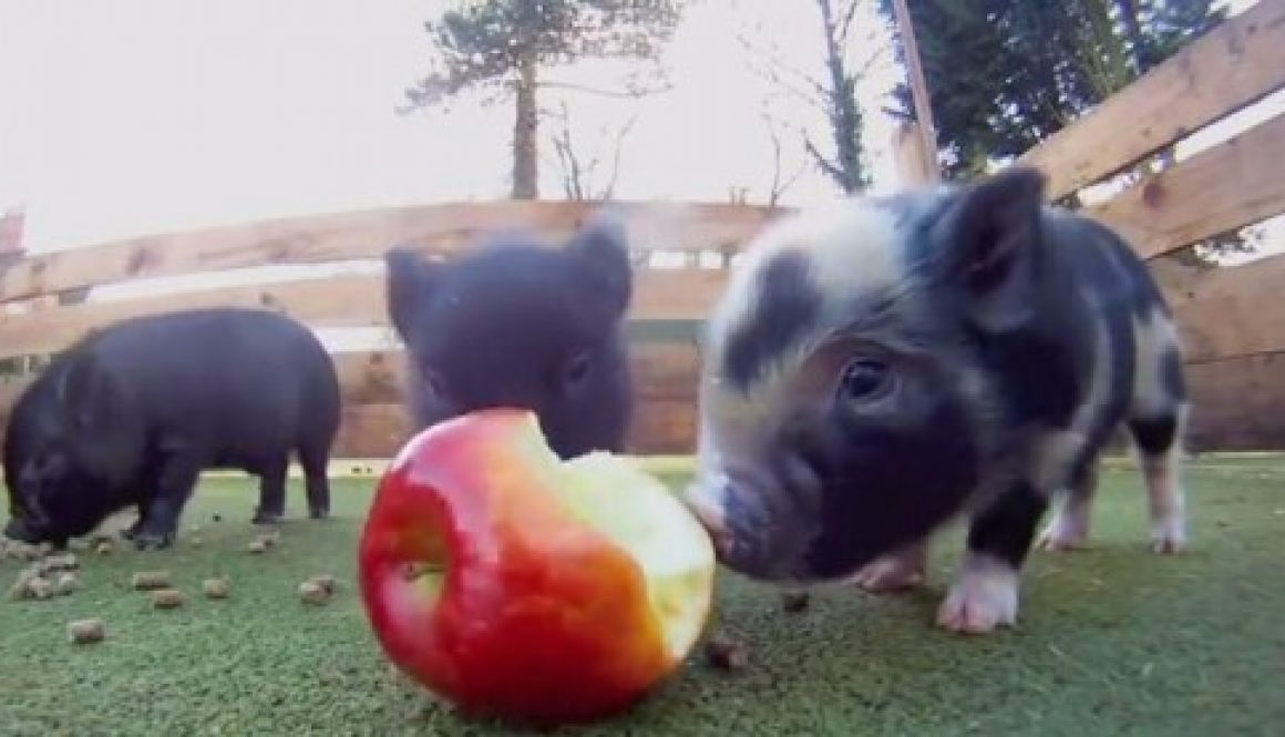 Micro Pig, cute, Pet piggie, Apple, animals, cute, fulffy, piglet, pig